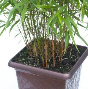 bambou-non-tracant-en-pot