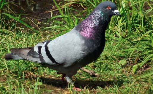 Elever le pigeon biset sans en subir les nuisances