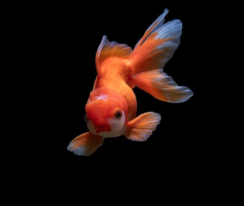 Comment garder les poissons rouges en bonne santé